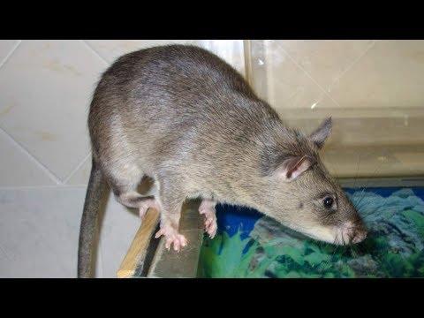 Крысиный король! Самый большой в мире крыс живет в Питере