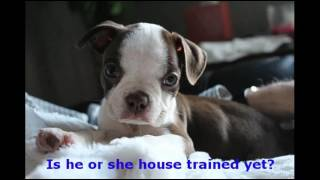 How to House Train Boston Terrier Puppies