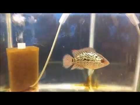 Anakan Flowerhorn Louhan Kamfa Umur 3 Bulan Youtube
