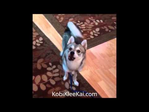 Our Alaskan Klee Kai Puppy, Kobi and his First Two Years