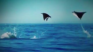 Video Hundreds of Manta Rays Leap into the Air download MP3, 3GP, MP4, WEBM, AVI, FLV Oktober 2018