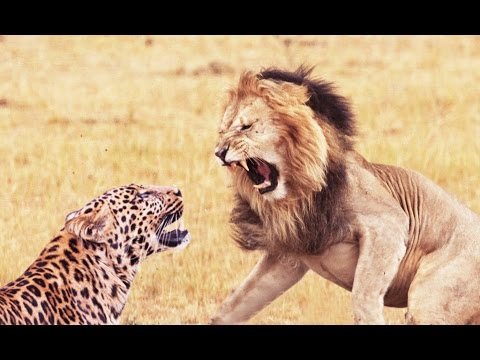 Lion and Leopard Fights