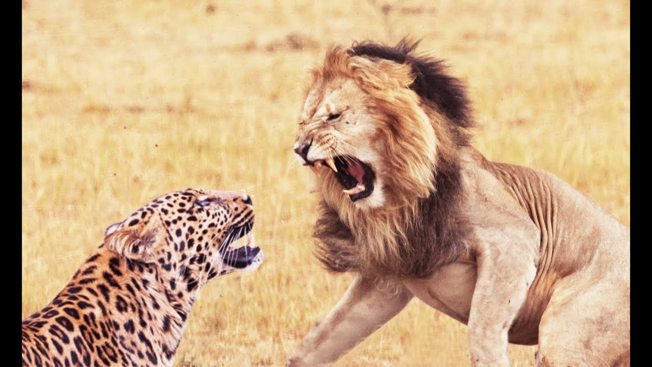 Lion and Leopard Fight...