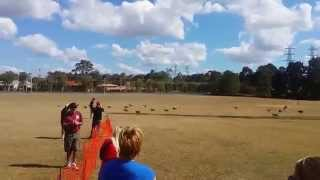 August 2014 - Beagle Club Of Qld Lure Coursing Day