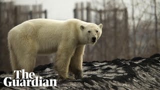 Polar bear found hundreds of miles from home in Russian industrial city