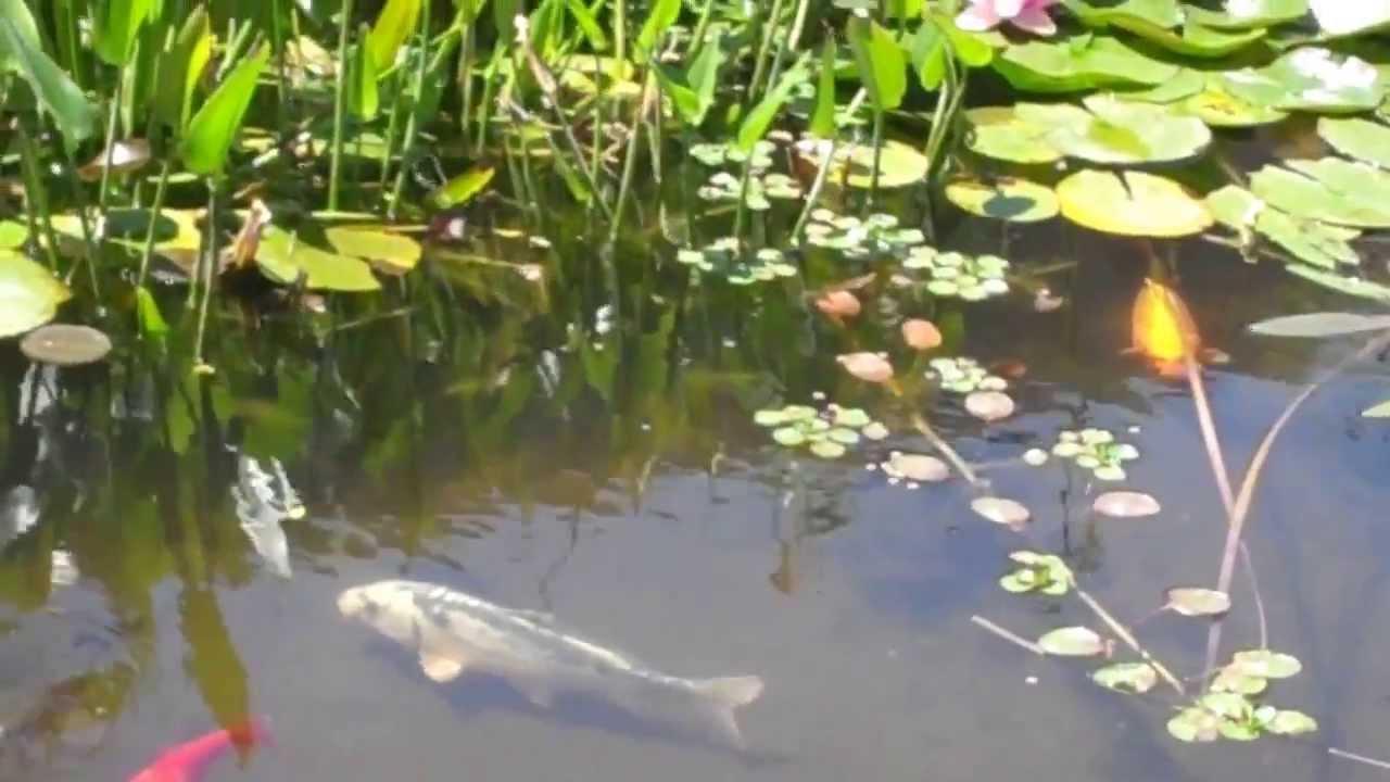 Bassin koi poisson rouges chevesnes shubunkin et for Koi et poisson rouge