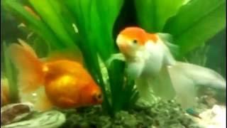 Аквариум. Оформление.  Релаксация. Совместимость рыб. ProРыб(Этот аквариум я делал своими руками с нуля для себя, включая поделки и оформление. Аквариум на 150 литров...., 2016-09-10T19:57:56.000Z)