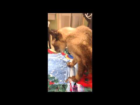VETgirl Video: Ventroflexion of the neck in a cat with chronic renal disease