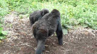 Chest beating and ground thumping by mountain gorillas