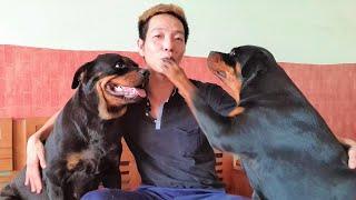 Tại Sao Nói Chó Rottẁeiler Đức và Rottweiler Serbia? Chó Serbia và Đức có khác nhau?