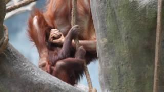 Kecil and Kekasih playing