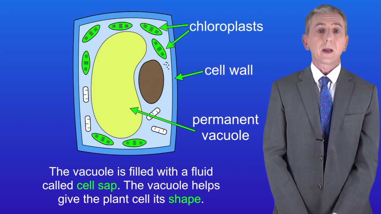 Gcse Science Biology 9 1 Plant Cells Youtube Simple Cell Diagram Labeled For Kids Animal And