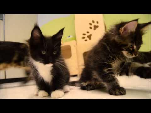 Allevamento Maine Coon dell'Antica Luna - cuccioli - Antica Luna's Maine Coon cattery - kittens