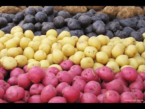 Высокоурожайные сорта картофеля мини-клубней!