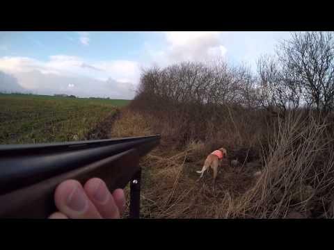 Bracco Italiano hunting on pheasant