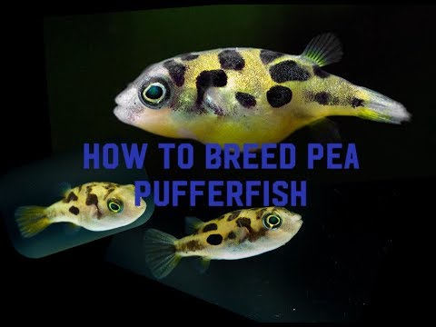 How To Breed Pea Puffers