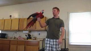 Two BEAUTIFUL Scarlet Macaws! Very loving playful birds! Wyatt & Tooty Fruity!