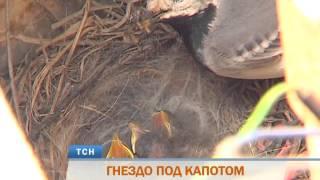 Пермяк обнаружил гнездо трясогузки в моторном отсеке своей машины(, 2015-06-19T05:58:51.000Z)