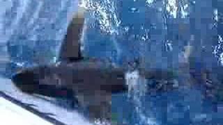 requin océanique thumbnail