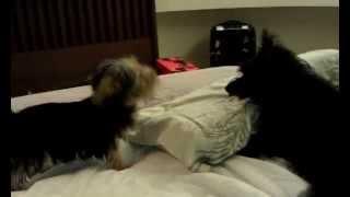 Cairn Terrier & Norfolk Terrier Puppy