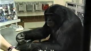 アフリカの一部に生息するボノボと呼ばれる、人類に一番近いと言われる...