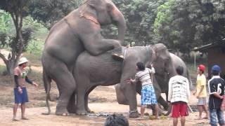 Repeat youtube video Elephant mating II