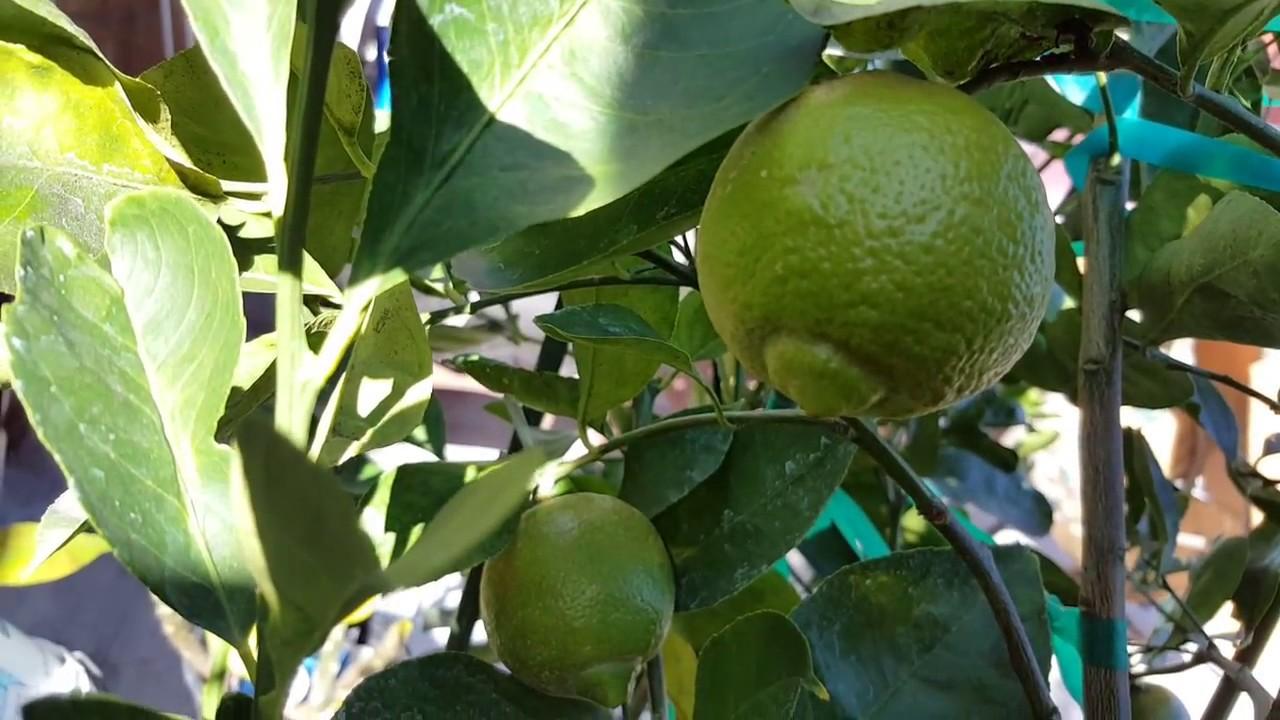 Pomona Lemon Very Sweet