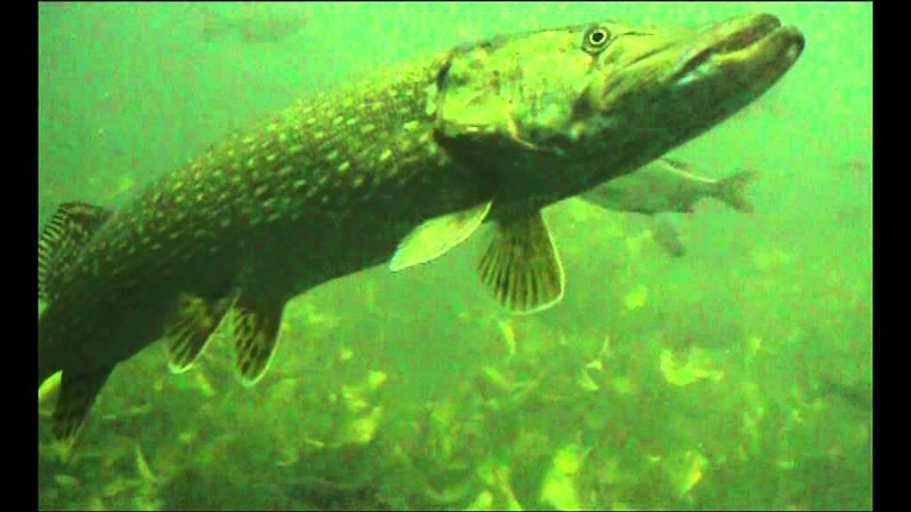 Hechte und andere einheimische fische unterwasser youtube for Einheimische fische gartenteich