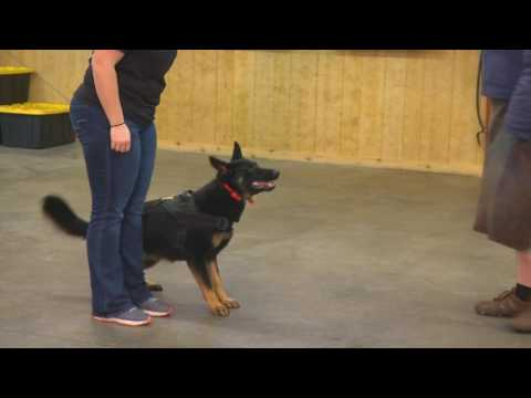 Ruby von Prufenpuden 16 Mo's Obedience Protection Trained German Shepherd For Sale