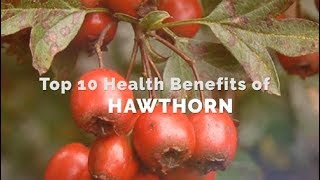 Top 10 Health Benefits Of Hawthorn