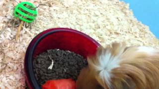 Toilet training my guinea pig - hope it works!