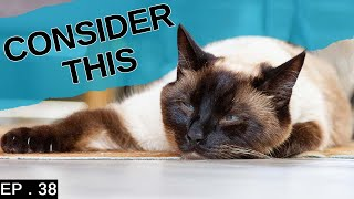 10 things to consider before getting a Siamese Cat