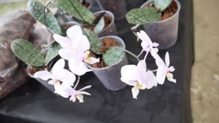 Орхидея: Выставка в Сопоте 12.05.2017