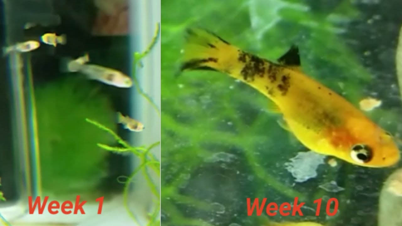 Leopard Molly Fry Growing Up Part 1 Week By Video Log Few Hours Old 10