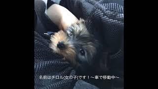 平成29年11月09日生まれヨークシャテリアのチロルちゃん(女の子)が家に...
