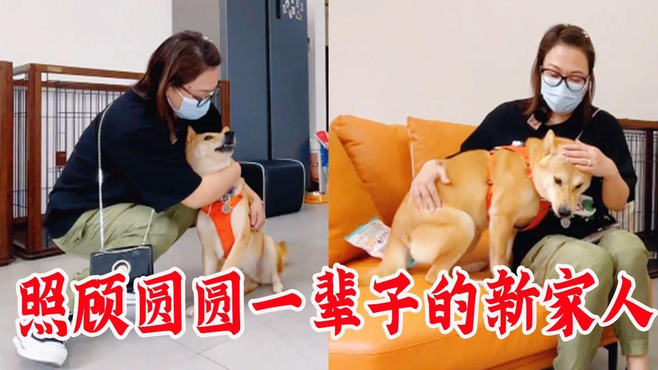 柴犬圆圆应该已经感应到了,这就是要照顾她一辈子的新家人【犬道APP】