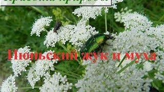 Живая природа. Июньский жук и муха. Июнь-2014