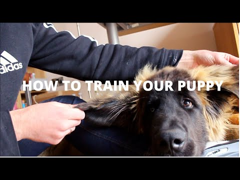 How To Train Your Puppy (Leonberger Puppy)
