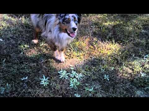 Playing fetch with my 1 year old Mini Aussie Indie