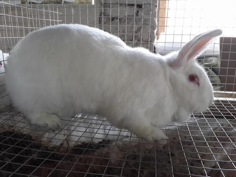 Порода кроликов Английский строкач - YouTube