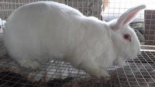 Паннон Белый.  Кролики Вадима Калачёва