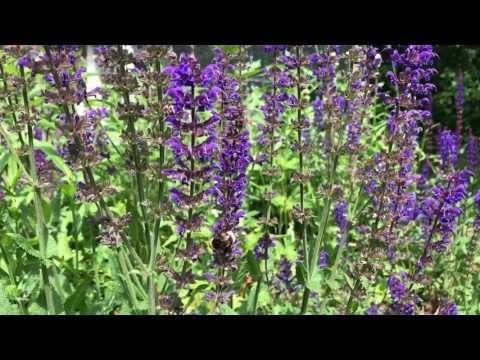 3 blommor torktåliga perenner som humlor och bin älskar -och som rådjur och mördarsniglar ratar