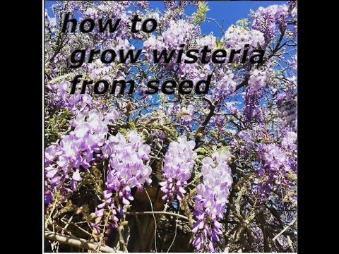 How To Grow Wisteria From Seed Sinensis