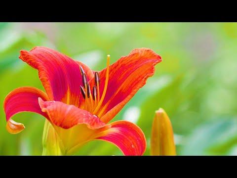 Alarm im Beet der Taglilien! Blüten in Feuerrot bis Knallorange.