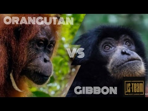 Orang utan Vs Gibbon, Jungle Sumatra - Bukit Lawang
