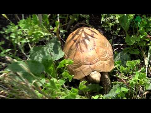 SEE AND BUY - GOLDEN GREEK TORTOISES, Farm Raised, 12-15 сm (4-6'')