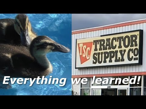 How to Raise Ducks from Tractor Supply