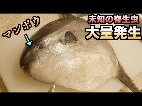 【寄生虫の宝庫】マンボウを解体したら未知の寄生虫が湧き出てきた!!