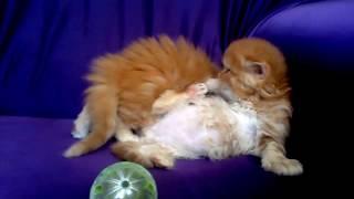 Шотландские котята Хайленд страйт питомник Lanssary