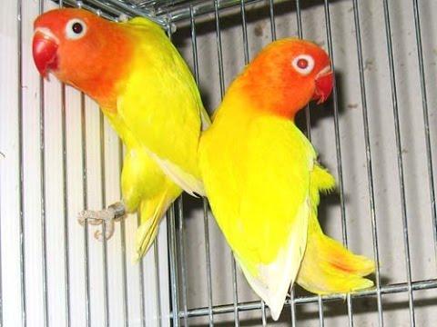 Lutino Love Bird - You...